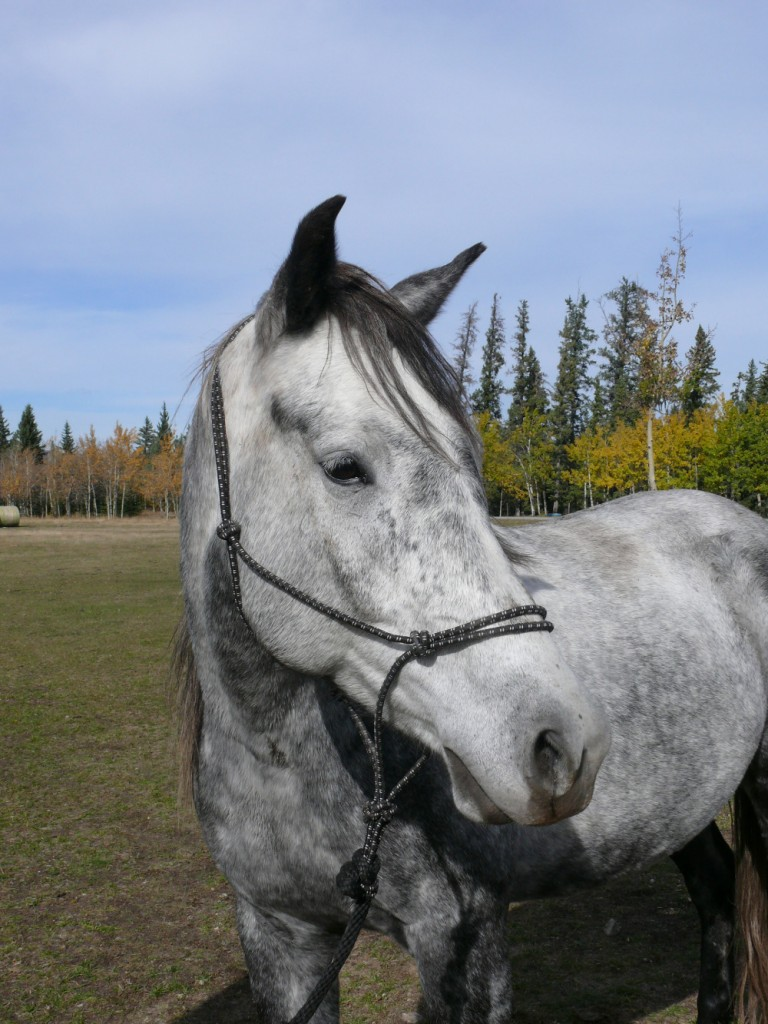 Captain, a Mountie baby and dapple grey horse