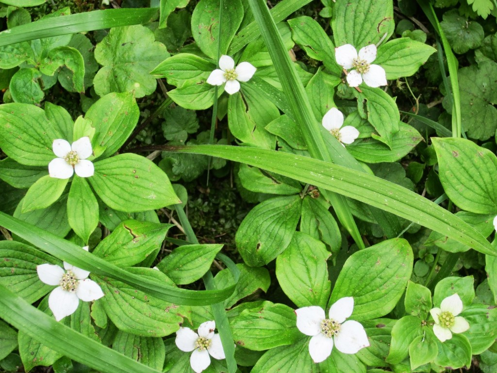 Bunchberry or Dwarf Dogwood Brown Lowrey